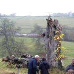 Just one example of the trees' decay.   The grey-haired gentleman in the foreground is John Squire, for many years a Parish and District Councillor. He is talking to Anne Tolley, a member of Wembury Local History Society Committee. The photograph was taken on the day of replanting, November 26th, 2007.